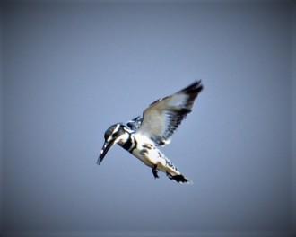 White Kingfisher